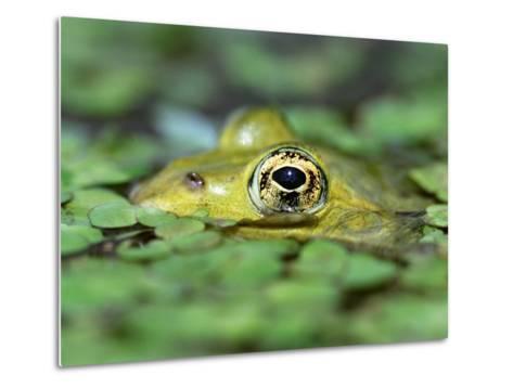 Edible Frog--Metal Print
