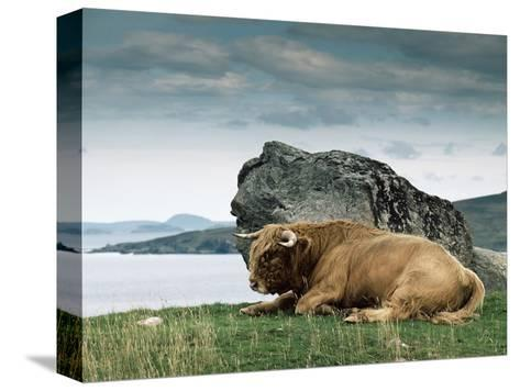 Highlander Bull--Stretched Canvas Print