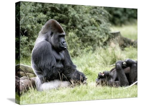 Western Lowland Gorillas--Stretched Canvas Print