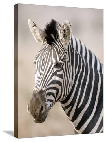 Burchell's Zebra--Stretched Canvas Print
