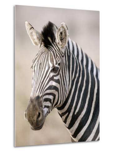 Burchell's Zebra--Metal Print