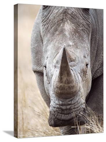 White Rhinoceros--Stretched Canvas Print