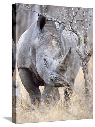 White Rhinoceroses--Stretched Canvas Print