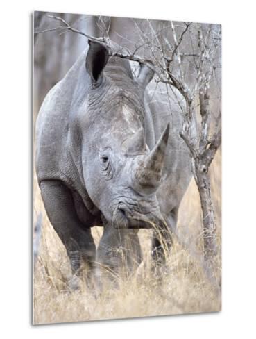 White Rhinoceroses--Metal Print
