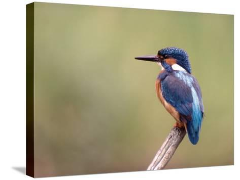 Common Kingfisher--Stretched Canvas Print