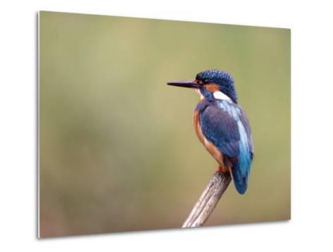 Common Kingfisher--Metal Print