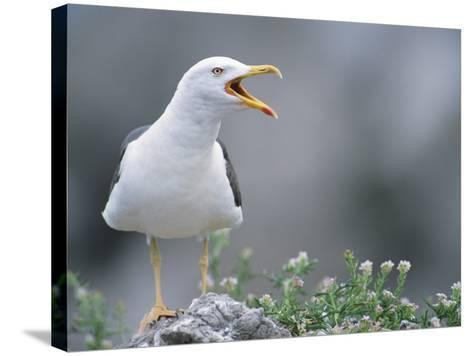 Lesser Black-Backed Gull--Stretched Canvas Print