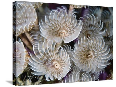 Magnificent Feather Duster Worms--Stretched Canvas Print