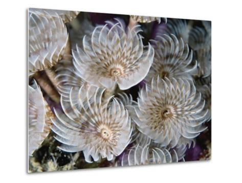 Magnificent Feather Duster Worms--Metal Print
