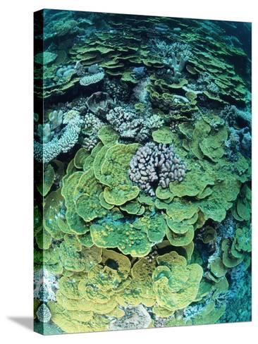 Elephant Ear Coral--Stretched Canvas Print