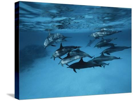 Pod of Dolphins--Stretched Canvas Print