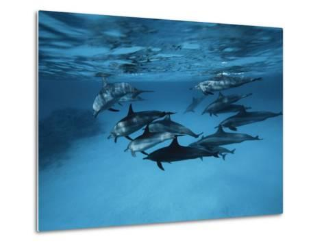 Pod of Dolphins--Metal Print