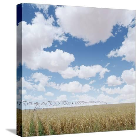 Crops growing in a field--Stretched Canvas Print