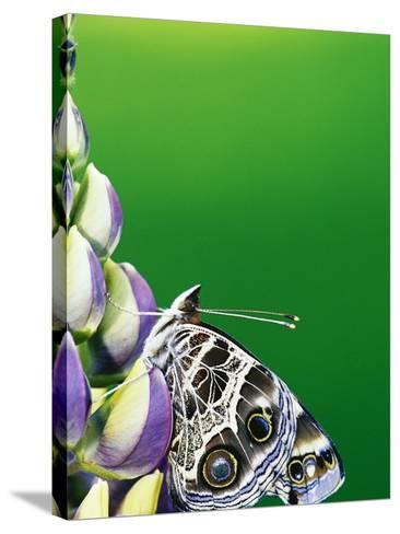 American Painted Lady on a Lupine-Darrell Gulin-Stretched Canvas Print