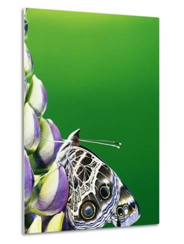 American Painted Lady on a Lupine-Darrell Gulin-Metal Print