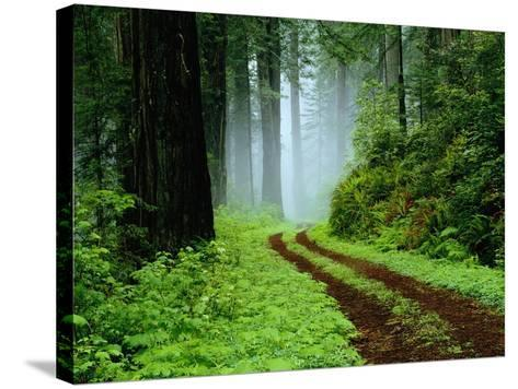 Unpaved Road in Redwoods Forest-Darrell Gulin-Stretched Canvas Print