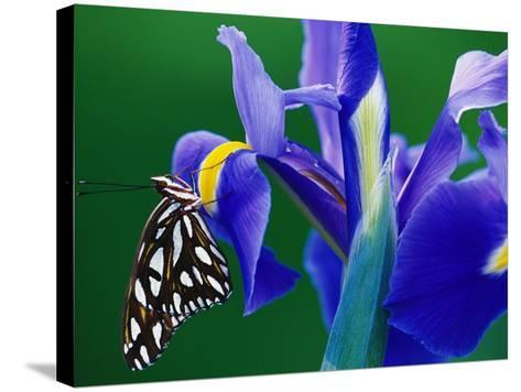 Fritillary Butterfly on a Dutch Iris-Darrell Gulin-Stretched Canvas Print