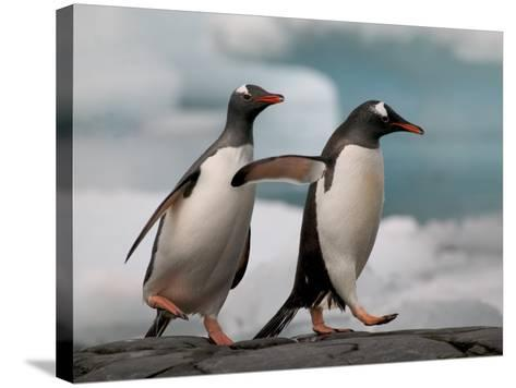 Two Gentoo Penguins-Darrell Gulin-Stretched Canvas Print