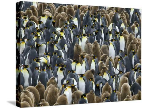 King Penguin Colony on South Georgia Island-Darrell Gulin-Stretched Canvas Print