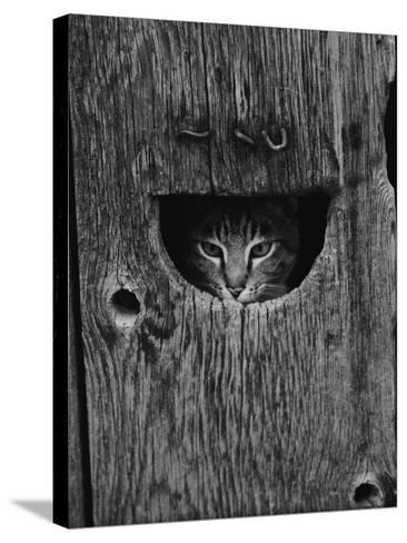 Cat Peeking Out from Barn-Josef Scaylea-Stretched Canvas Print