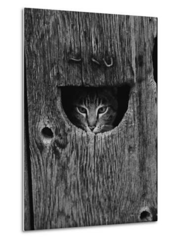 Cat Peeking Out from Barn-Josef Scaylea-Metal Print