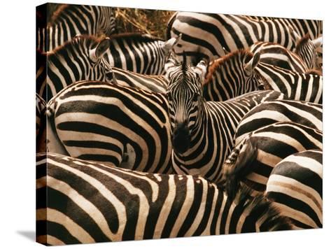 Herd of Zebras-John Conrad-Stretched Canvas Print