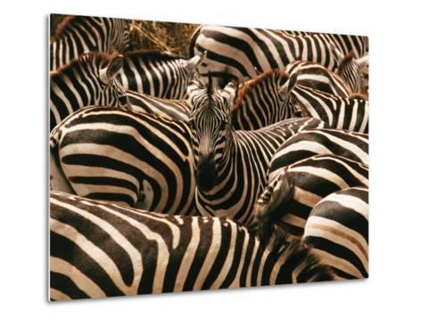 Herd of Zebras-John Conrad-Metal Print