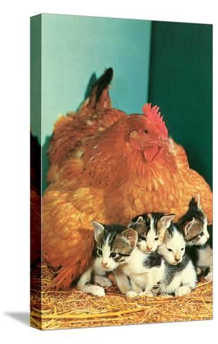Hen Sitting on Kittens--Stretched Canvas Print