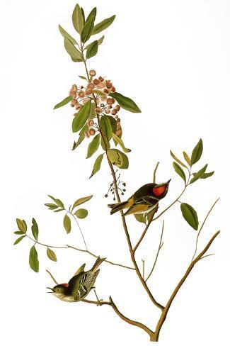 Audubon: Kinglet, 1827-John James Audubon-Stretched Canvas Print