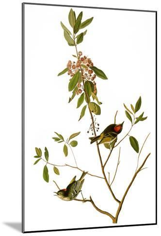 Audubon: Kinglet, 1827-John James Audubon-Mounted Giclee Print