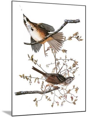 Audubon: Sparrow, 1827-38-John James Audubon-Mounted Giclee Print