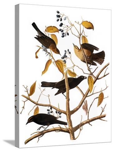 Audubon: Blackbird, 1827-John James Audubon-Stretched Canvas Print
