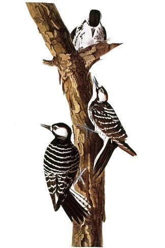 Audubon: Woodpecker-John James Audubon-Stretched Canvas Print