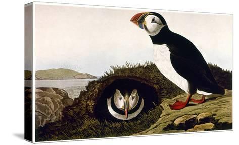 Audubon: Puffin, 1827-38-John James Audubon-Stretched Canvas Print