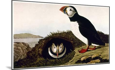 Audubon: Puffin, 1827-38-John James Audubon-Mounted Giclee Print