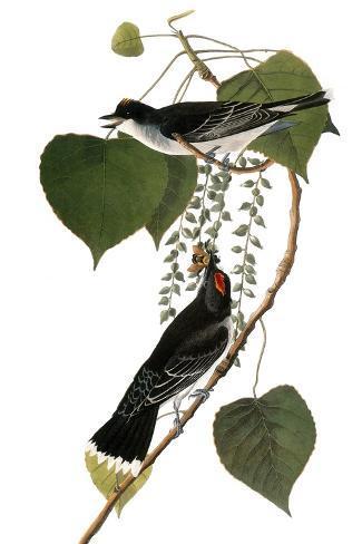Audubon: Kingbird, 1827-38-John James Audubon-Stretched Canvas Print