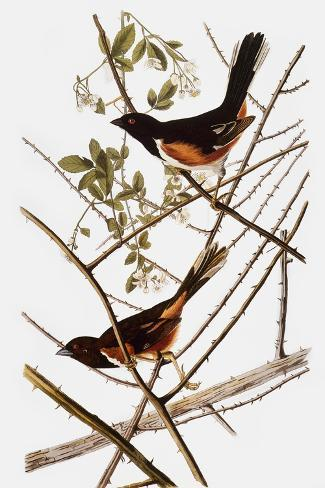 Audubon: Towhee-John James Audubon-Stretched Canvas Print
