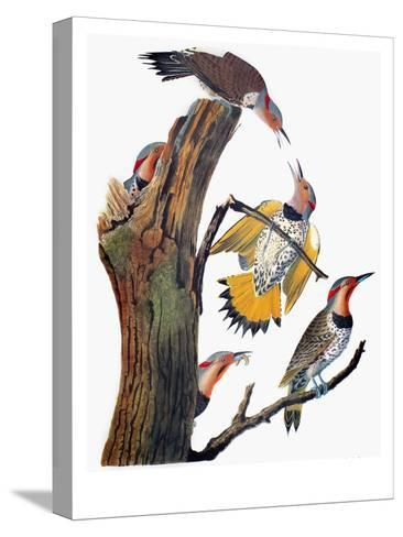 Audubon: Flicker-John James Audubon-Stretched Canvas Print