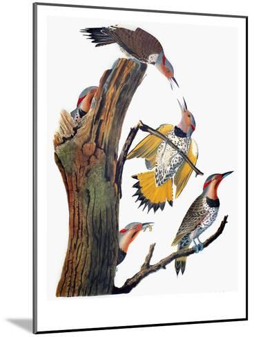 Audubon: Flicker-John James Audubon-Mounted Giclee Print