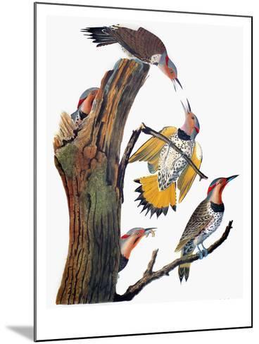 Audubon: Flicker-John James Audubon-Mounted Giclee Print