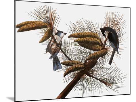 Audubon: Titmouse-John James Audubon-Mounted Giclee Print