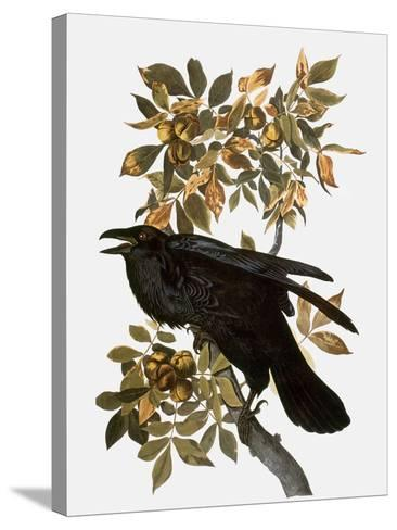 Audubon: Raven-John James Audubon-Stretched Canvas Print
