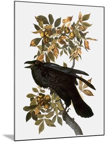 Audubon: Raven-John James Audubon-Mounted Giclee Print