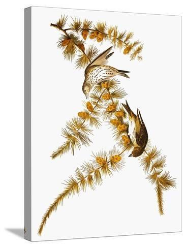 Audubon: Siskin-John James Audubon-Stretched Canvas Print