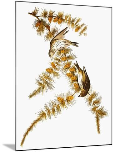 Audubon: Siskin-John James Audubon-Mounted Giclee Print