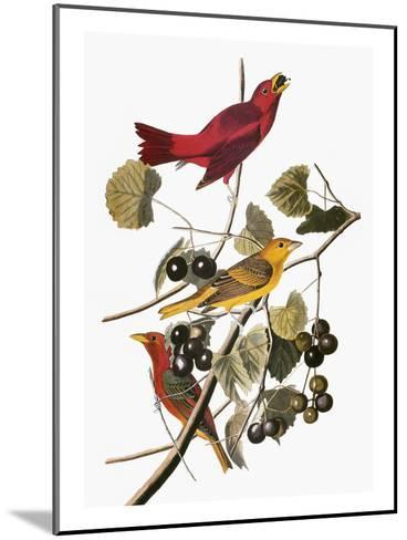 Audubon: Tanager-John James Audubon-Mounted Giclee Print