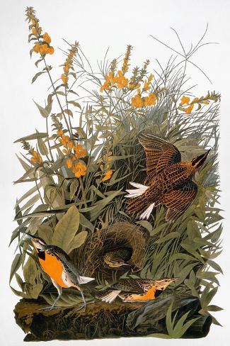 Audubon: Meadowlark-John James Audubon-Stretched Canvas Print