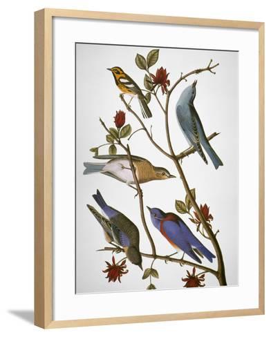 Audubon: Bluebirds-John James Audubon-Framed Art Print
