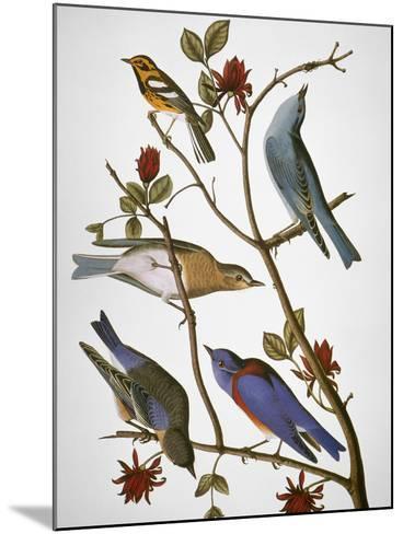 Audubon: Bluebirds-John James Audubon-Mounted Giclee Print