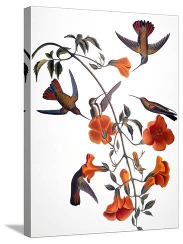 Audubon: Hummingbird-John James Audubon-Stretched Canvas Print